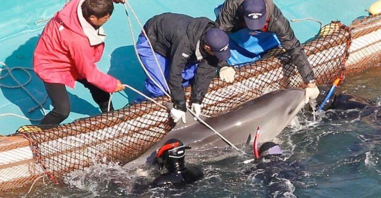 Photo of Japón permite de nuevo la caza de delfines