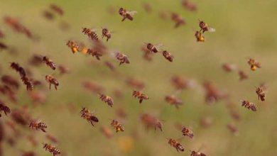 Photo of Muere una mujer atacada por abejas en Pénjamo
