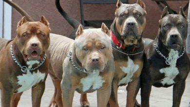 Photo of Cuatro perros pitbull matan a un hombre en Guanajuato